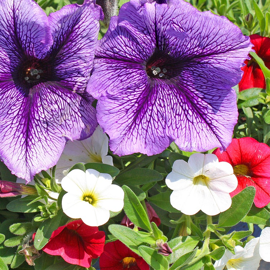 1554  Calibrachoa Minifamous Neo Cherry Red, Neo White, Petunia Suncatcher Blue Burst