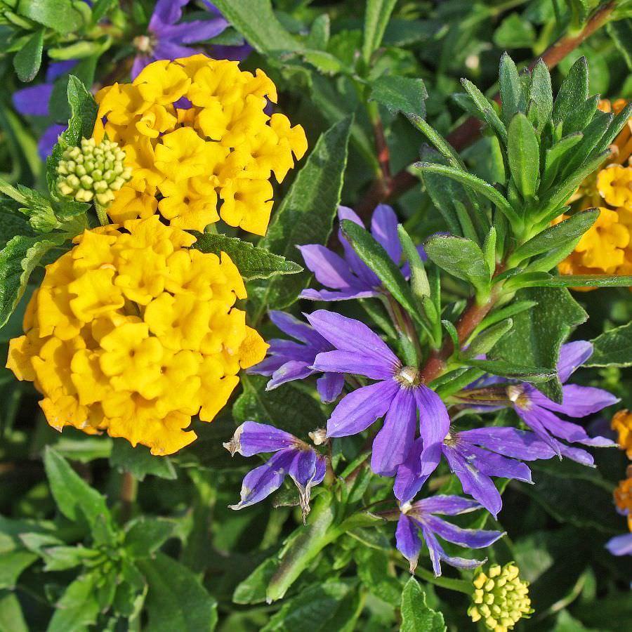 1382 Lantana Bandana Landscape Gold, Scaevola Bombay Dark Blue