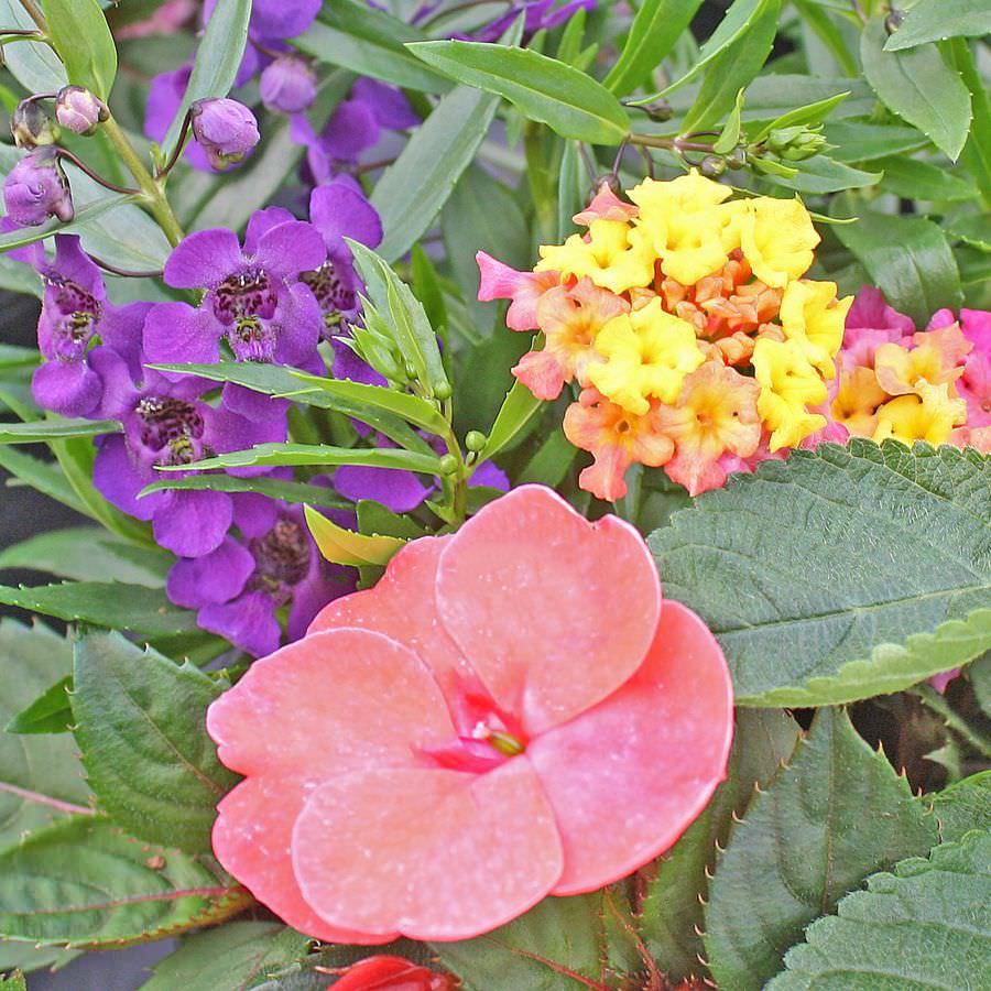 1378 Angelonia Archangel Purple, Lantana Bandana Rose, SunPatiens Compack Coral Pink