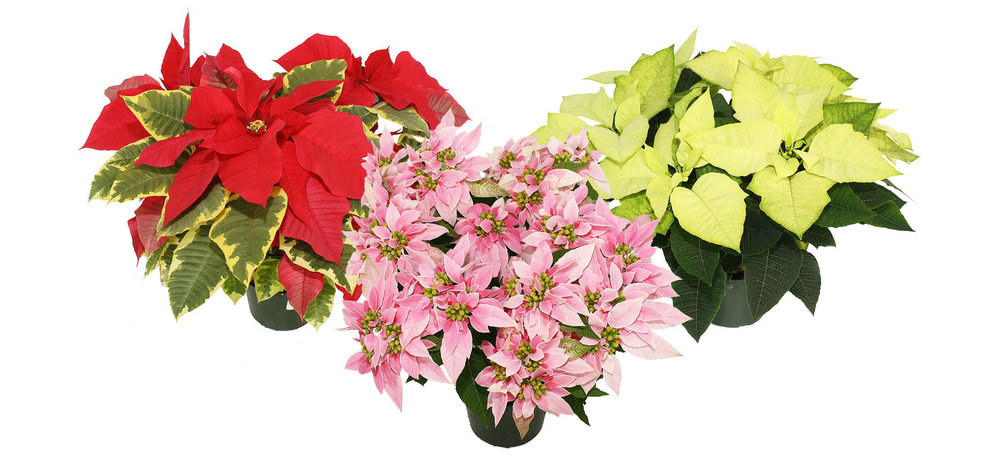 novelty-poinsettias.jpg