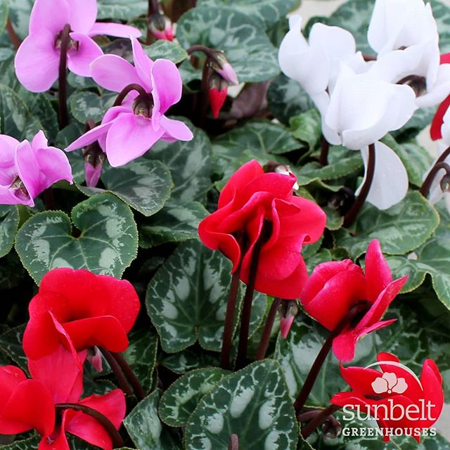 It's the perfect time of year for #cyclamens! They're great for #wintercolor inside and outside. #cyclamen #allure #isitwinteryet #itsbeginningtolookalotlikechristmas #plantsmakepeoplehappy #plantgeeks #sunbeltgreenhouses #allaboutcolor #georgiagrown🍑