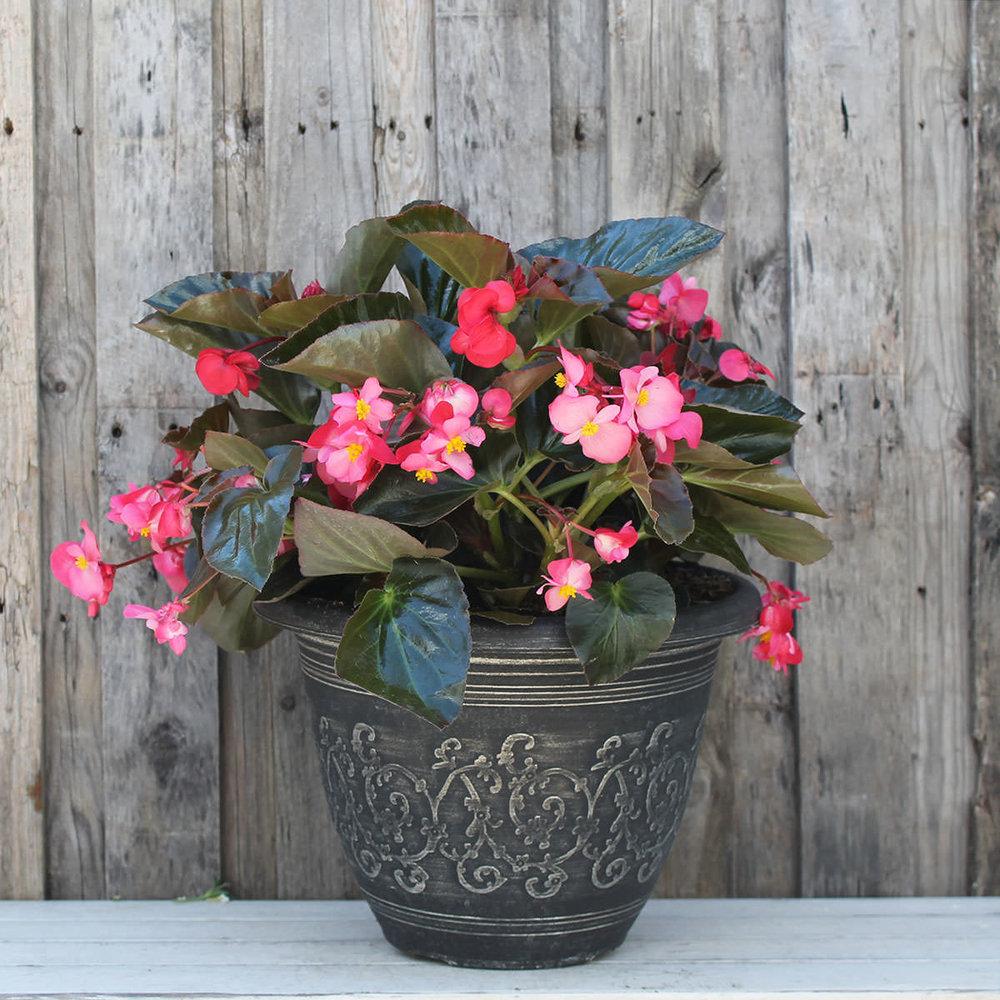 """12"""" Begonia Megawatt Pink BL"""