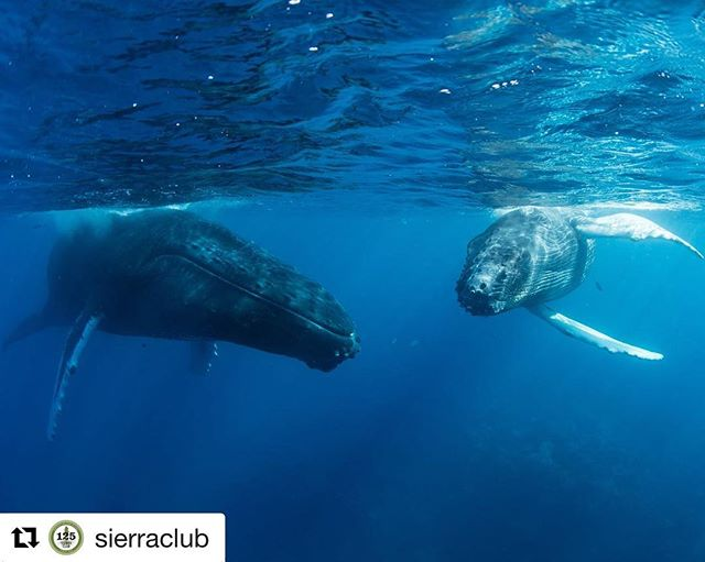 #images4change #oceans #whale #dolphin #Repost @sierraclub // What does the ocean sound like when seismic blasting is happening? Jarring, disrupting, and even ear-shattering for marine wildlife like dolphins and whales.  Read more about why the ocean is getting louder at sc.org/oceanlouder