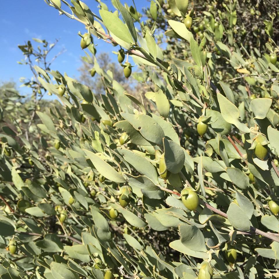 Jojoba growing in Oro de Sonora's fields in Arizona. Photo from Oro de Sonora