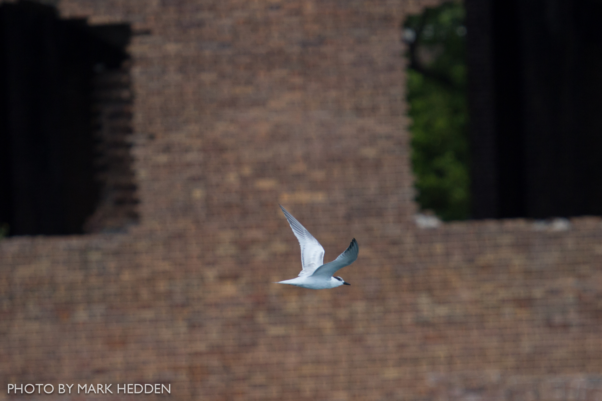 A Sandwich Tern flying by the fort.