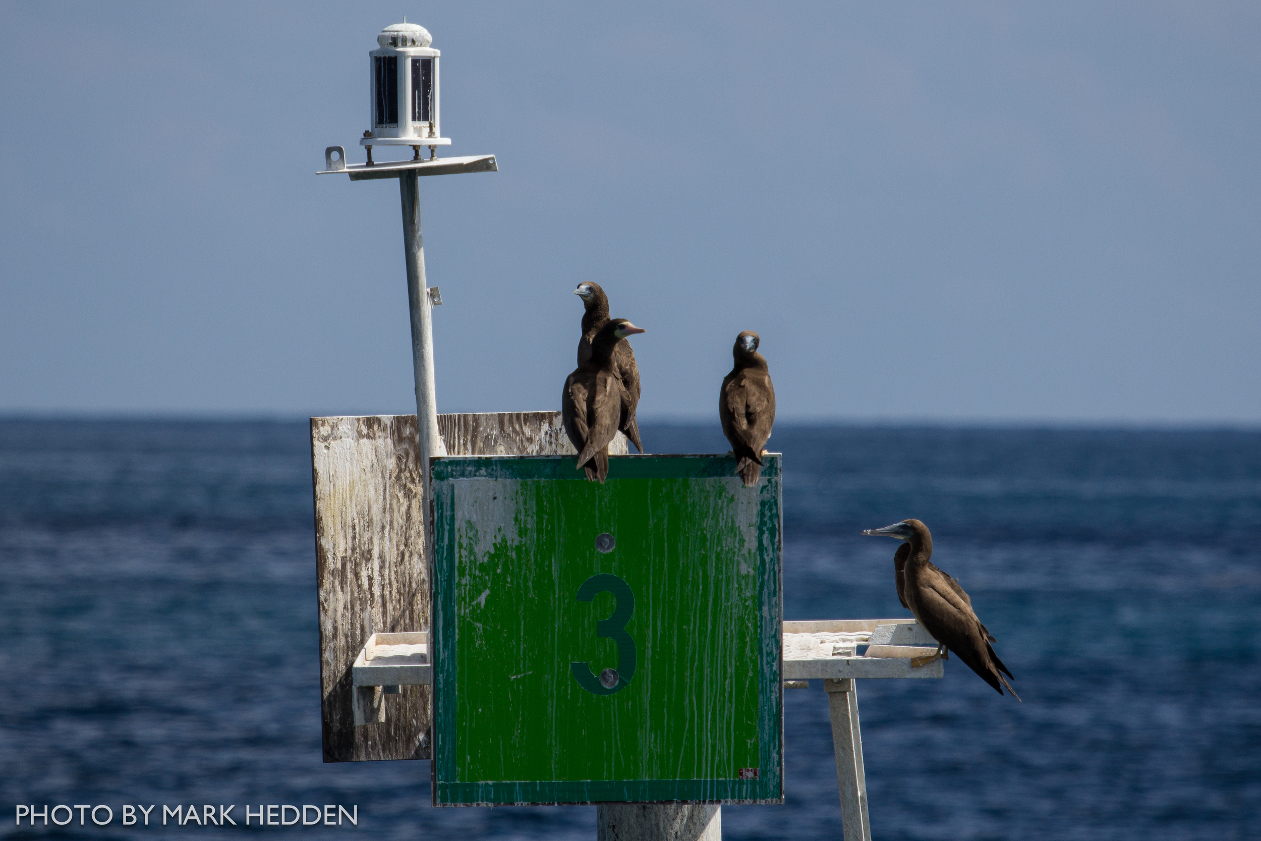 Brown Boobies on a channel marker.