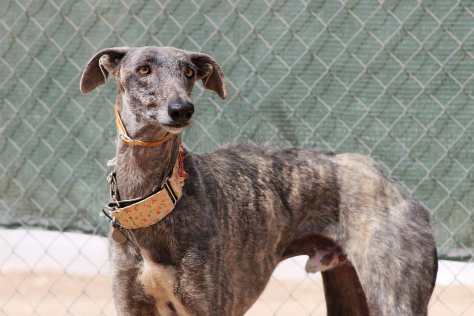 Moro > Galgos del Sol > Grateful Greyhounds