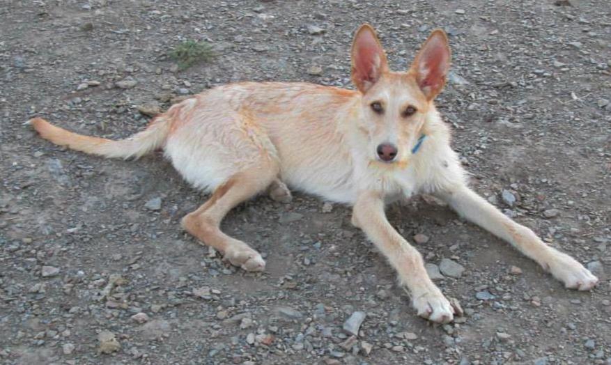 Elmer/Ringo > Ibizan Hound Rescue > GPS adoption
