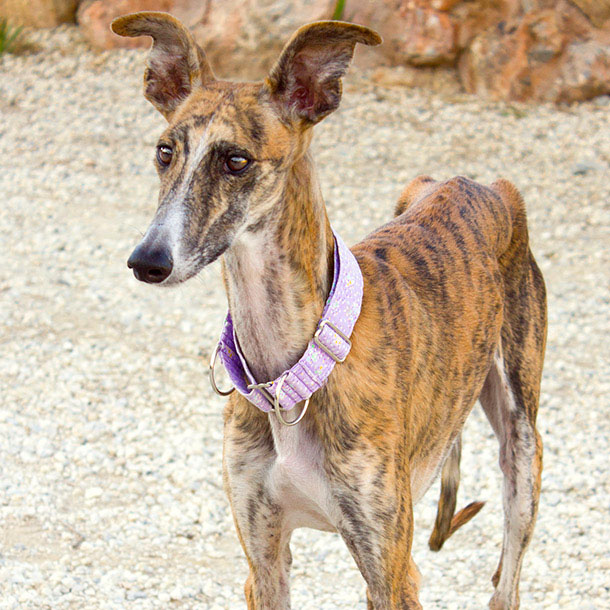 Guapa > Galgos en Familia > Greyhound Friends New Jersey
