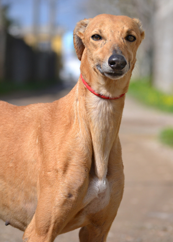 Indira >   Asociacion   Protectora Argos > Fast Friends Greyhound Rescue
