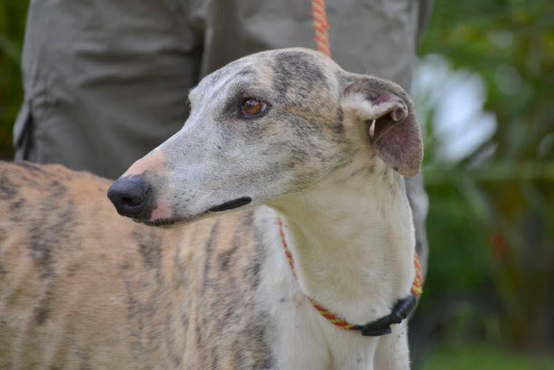 Darwin / Asociación Protectora Argos > Grateful Greyhounds