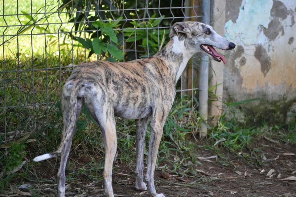 Lidia / Asociación Protectora Argos > Grateful Greyhounds
