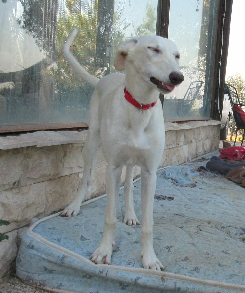 Keiko / Ibizan Hound Rescue > Greyhound Rescue Rehab