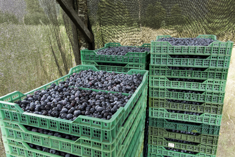 Web-Blueberries-8721.jpg