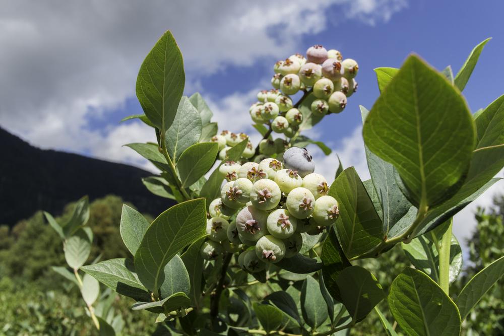 Web-Blueberries-8656.jpg