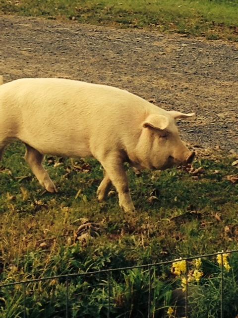 pig behind fence.jpg
