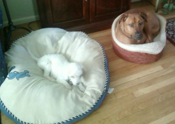 champ and bonbon wrong bed1s.jpg