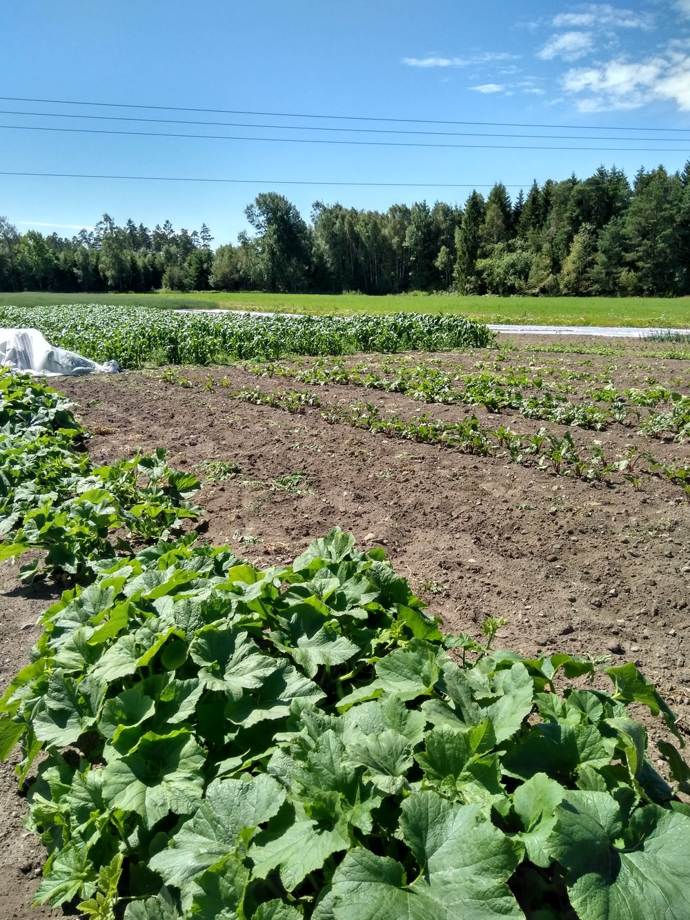 Gresskarplanter i forgrunnen, mais lengst unna. Bilde tatt 14.juli 2017.
