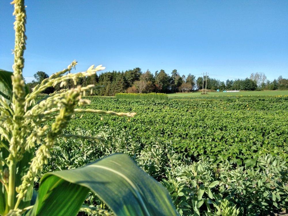Grønnsaksfeltet 14.08.17