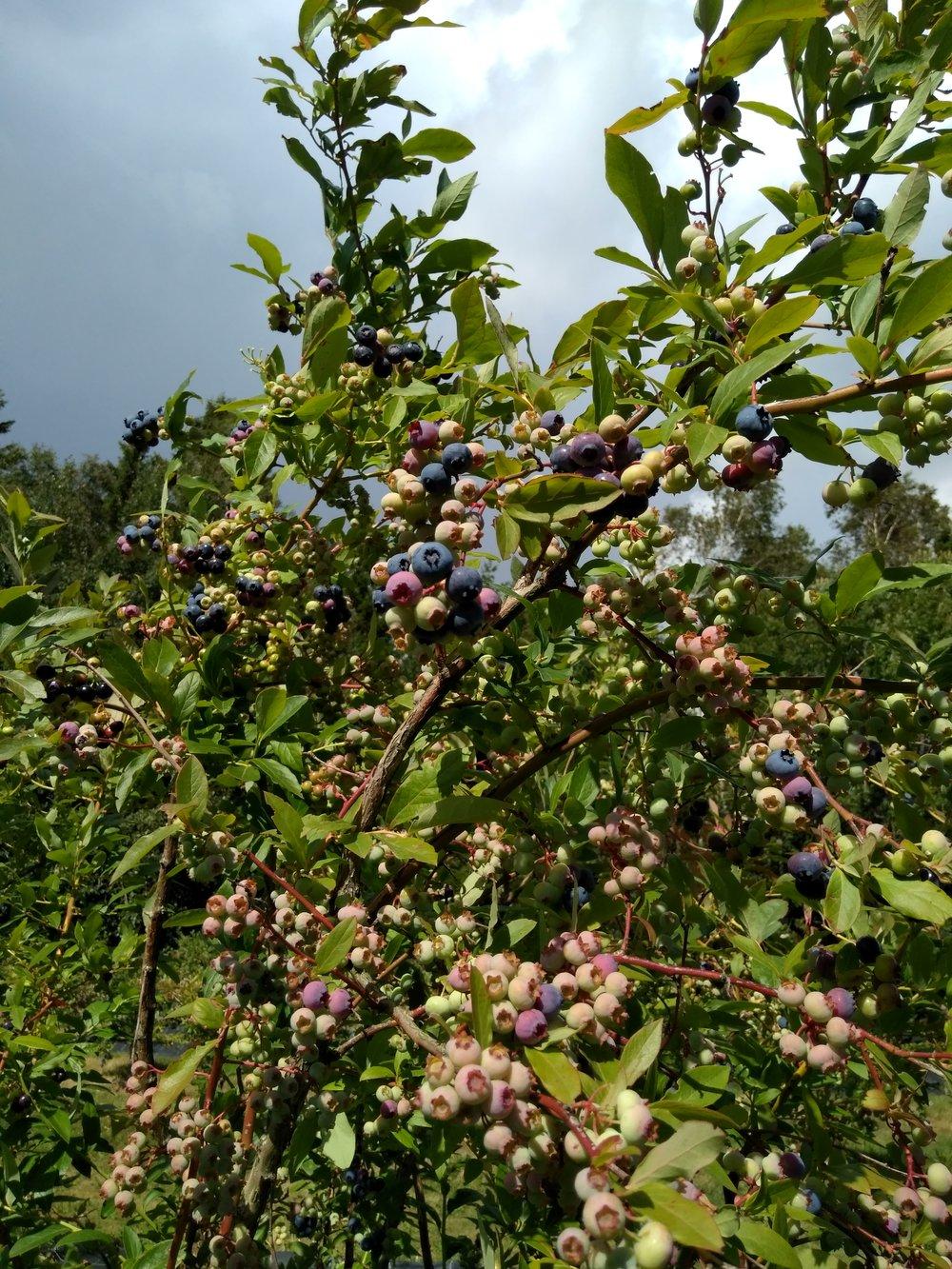 Hageblåbær i hopetall venter på å få nye eiere.Selvplukk: 80kr pr kg. Smaker nydelig!