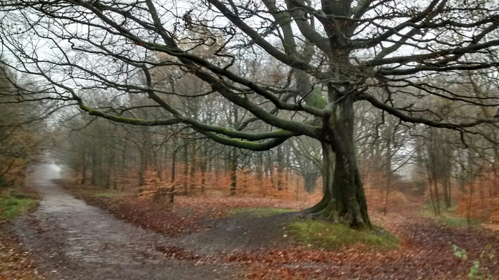 Subtle greys in this beech wood. November 2014.