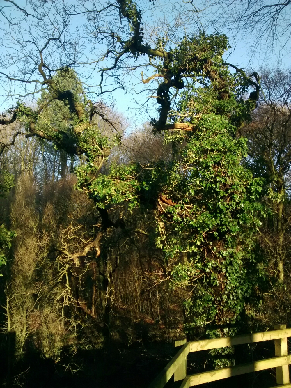 An oak tree covered in ivy, like a Christmas tree with tinsel.