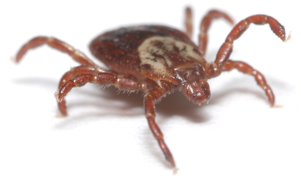 This is a tick, when they have blood their body grows and acquires a grey tone