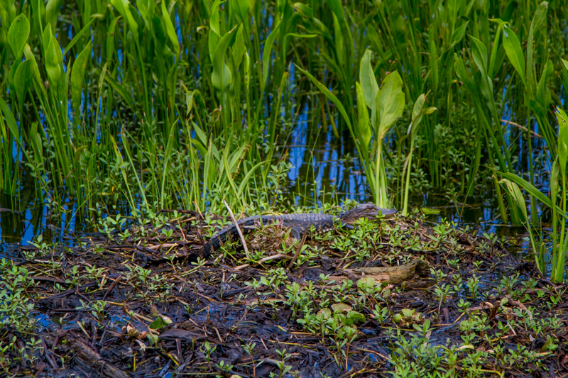1803 MSY swamp-16.jpg