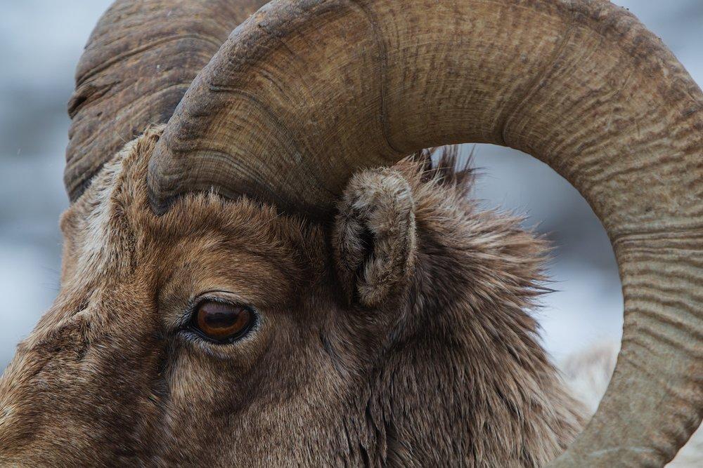 Big Horn Ram detail