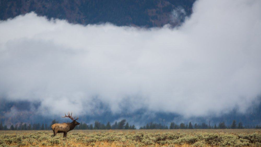 A bull elk in Grand Teton National Park
