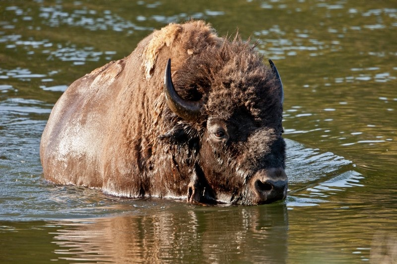 bison swimming accross the yellowstone river in yellowstone national park, wyoming