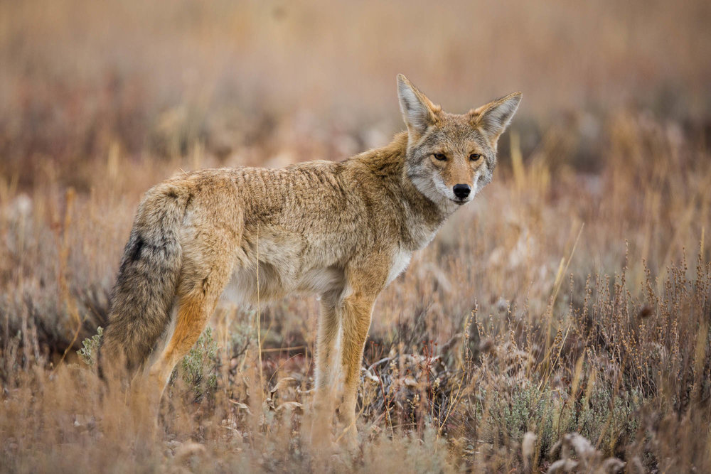 A coyote hunts for rodents in a field near Pilgrim Creek in Grand Teton National Park in the Autumn