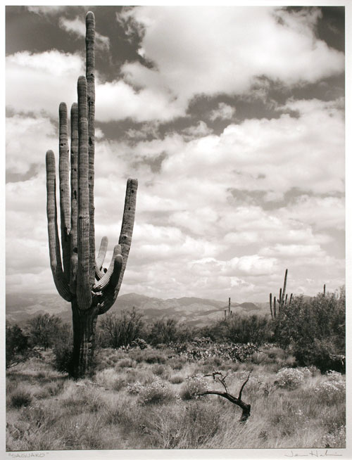 "Saguaro #3,      1987   black and white photograph  32"" x 26"""