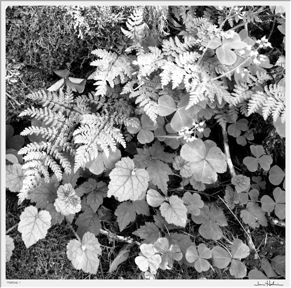 """Ferns II,"" 2005 black and white photograph, print #4 25 1/8"" x 25 1/8"""