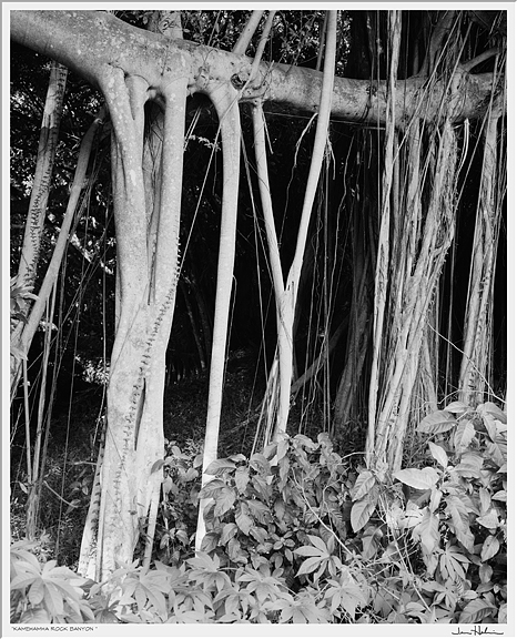 """Kamehamha Rock Banyon,"" 2007 black and white photograph, print #1 29 1/8"" x 25 1/8"""