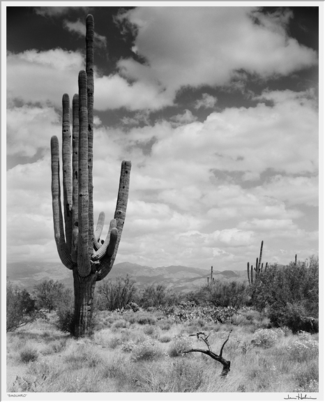 """Saguaro,"" 1987 black and white photograph, print #4 35 1/8"" x 31 1/8"""