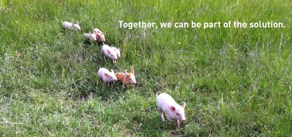 BannerB_Pigs2.jpg