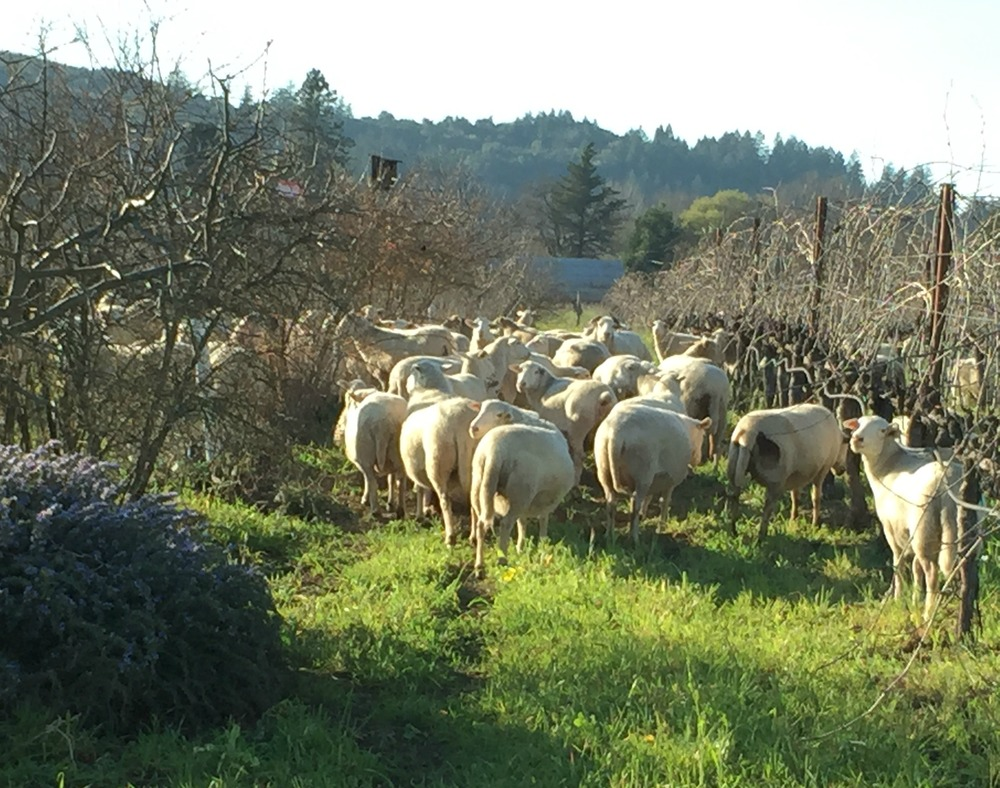 Sustainable Farms, Sheep grazing