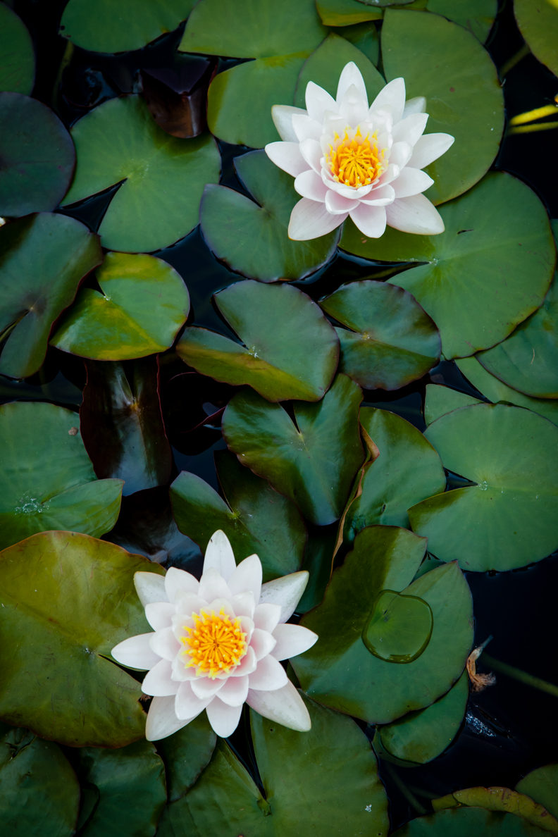 Water lilies in full bloom glory