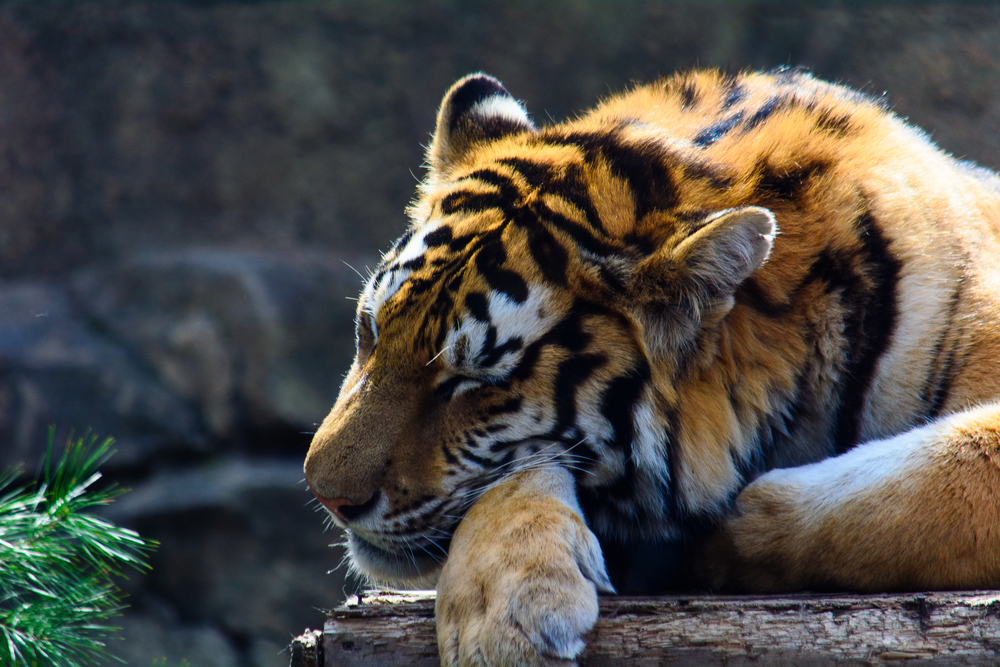 Sleepy Tiger.jpg