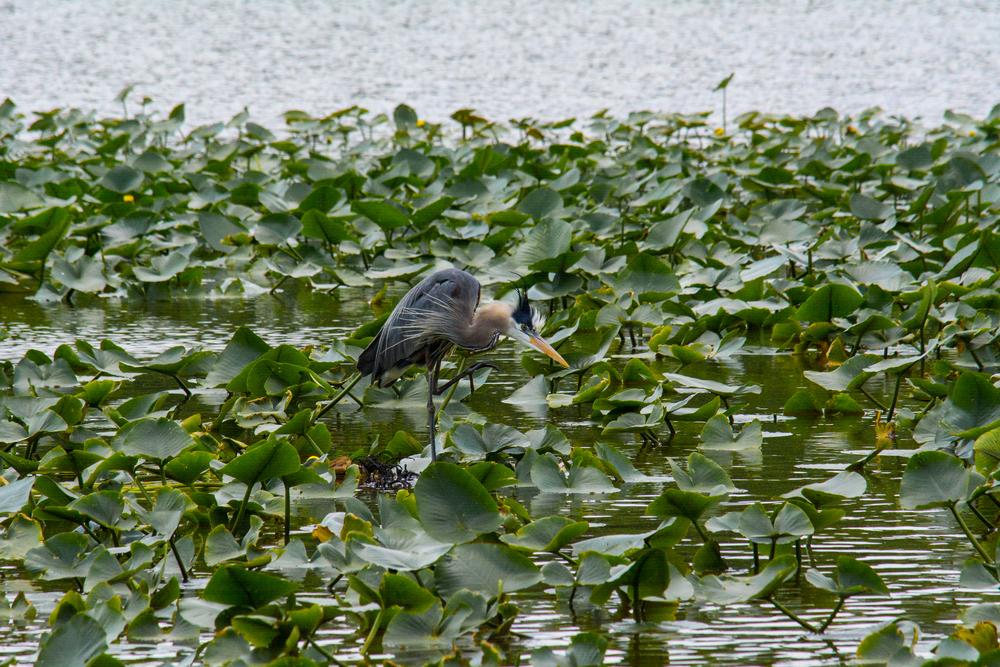 Blue Heron 1.jpg