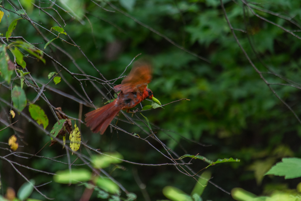 Cardinal Fighting a bug