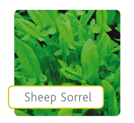 sheep-sorrel.jpg