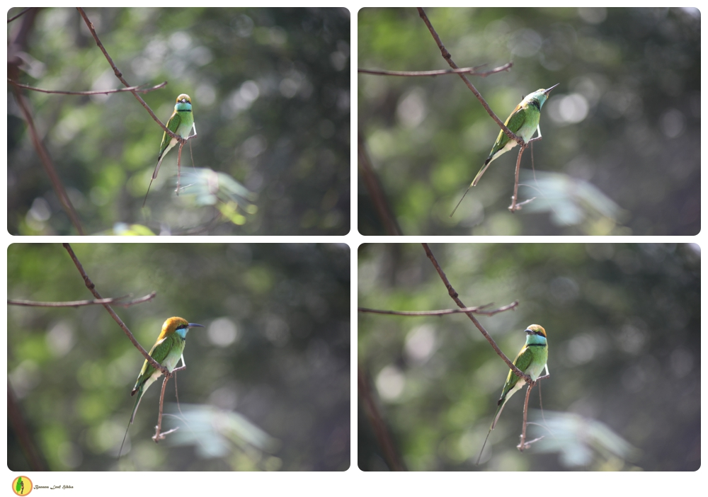 Sri lankan Bee eater birds