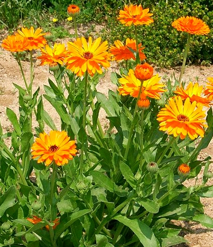 Calendula plant - Creative Commons image by KENPEI of Wikipedia