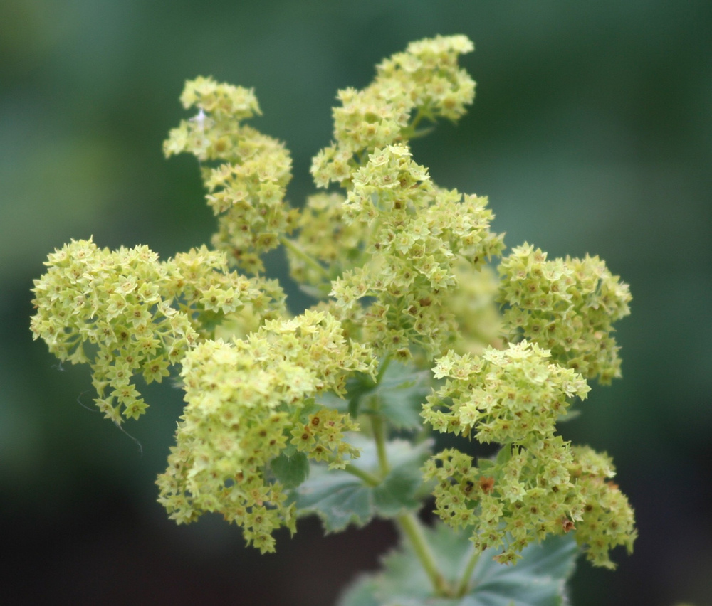 Lady's mantle flowers - Creative Commons image by Victor To