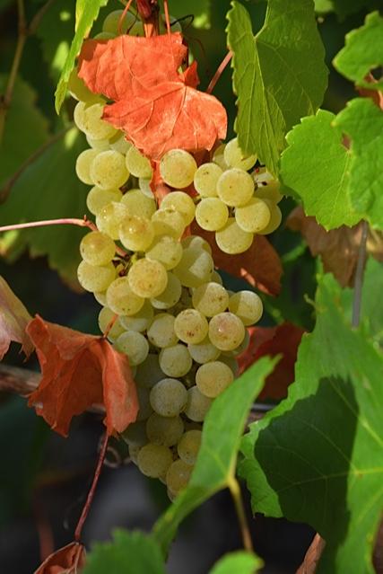 chardonnay harvest 12.jpg