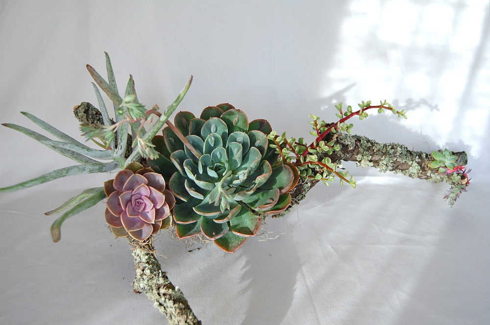 Moss-Covered Branch with Raindrop Echeveria