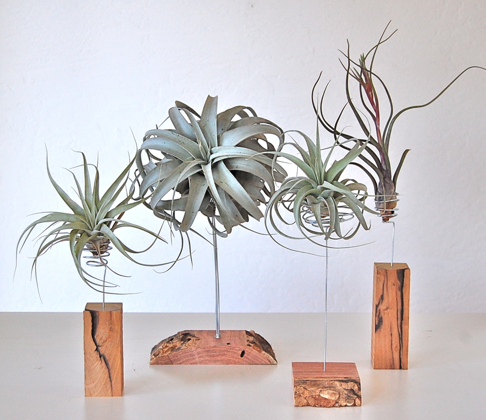 AIR PLANTS ON HAND CRAFTED STANDS (SOME WITH LIVE EDGE) Stands from $24.- $36. Air plants shown from $12- $30. (Stands and plants individually priced.)
