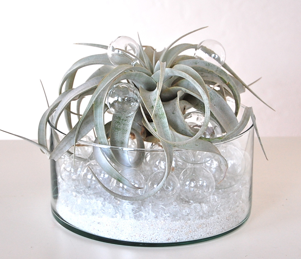 "BUBBLING UP AIR PLANT BOWL 8"" glass bowl and glass bubbles with Xerographica air plant  -  $78."